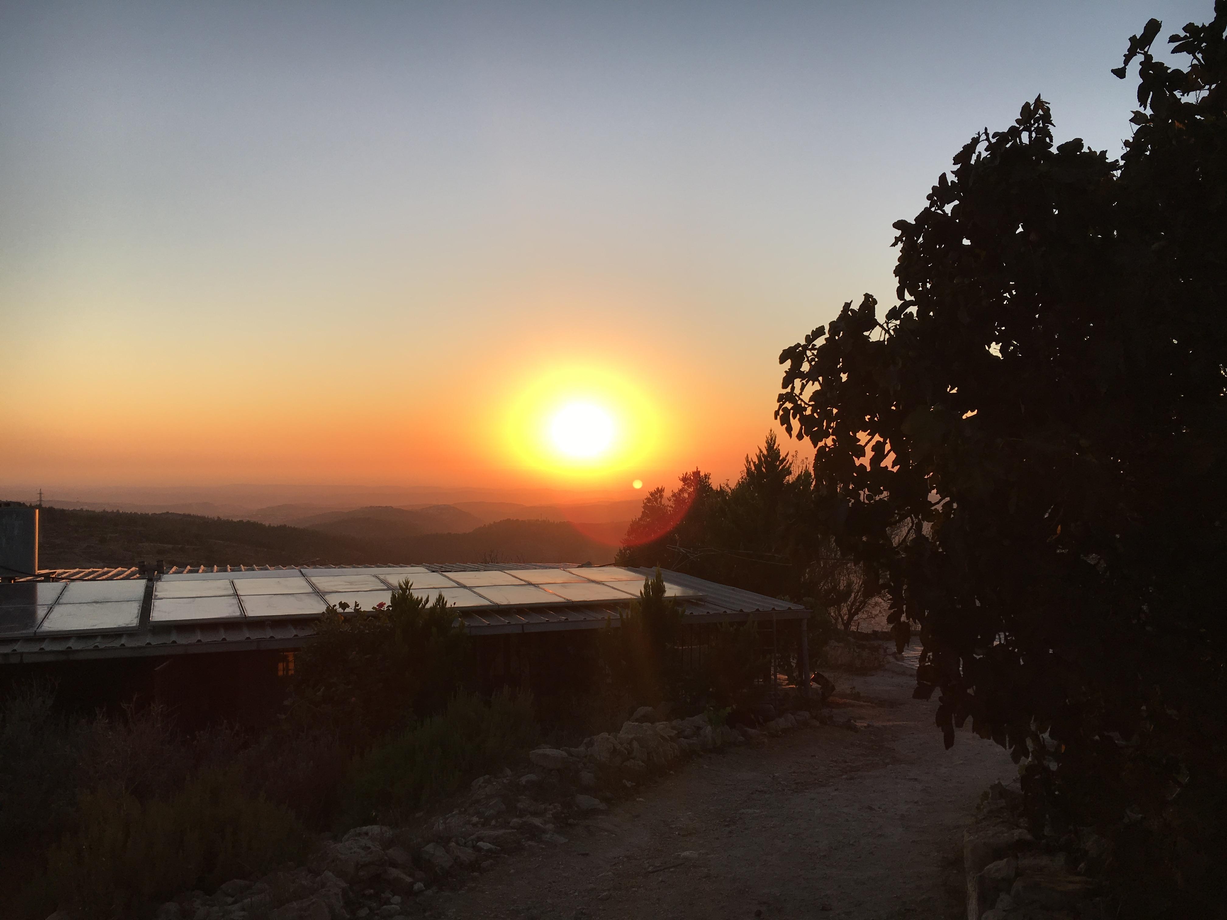 sunset fig tree