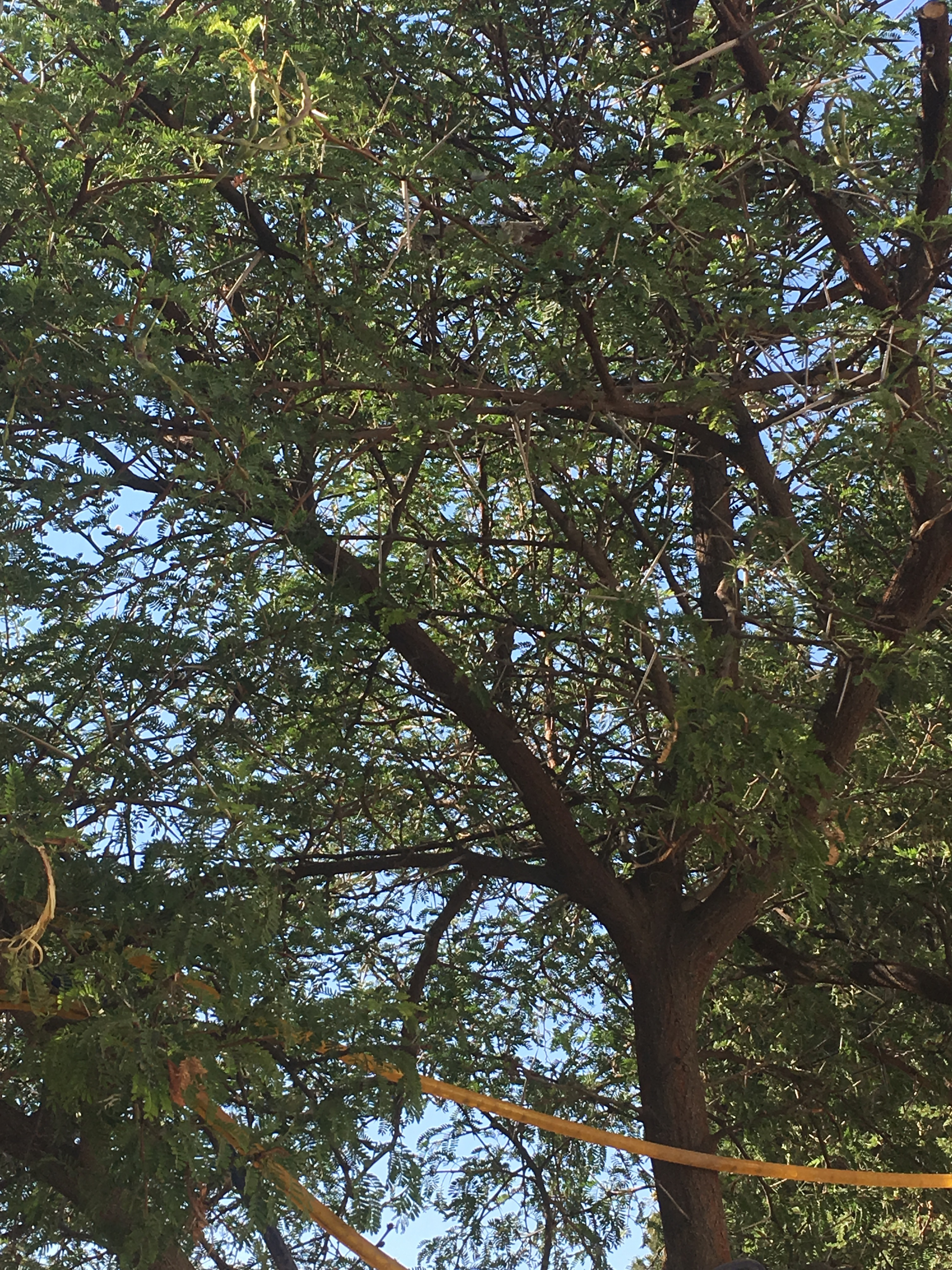 thorntreepic